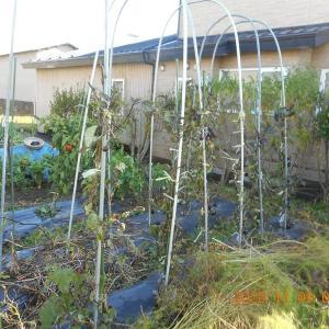 茄子の苗を切り倒す