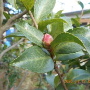 椿や山茶花の木に蕾がつきました