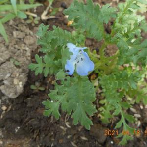 #種から育てたネモフィラが可憐な花を一輪つけた
