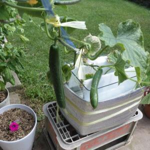 水耕栽培のキュウリを収穫し新しい液肥を加える
