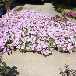 ペチュニアの花を咲かせ続けたいと思い花を刈りこむ