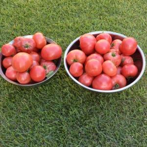 垂直栽培で育てたトマトを収穫する