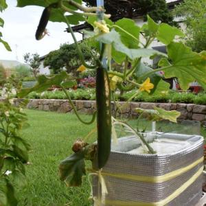 水耕栽培のキュウリから3本目のキュウリを収穫する
