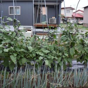 茄子の枝を剪定せずに育てている