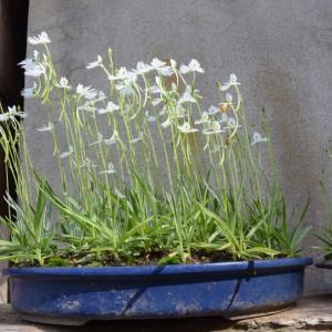 サギ草が咲きペチュニアが満開となる