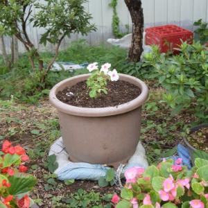 赤いペチュニアを植えていた鉢にインパチェンスを植える