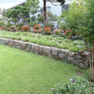 庭のペチュニアを刈り込む