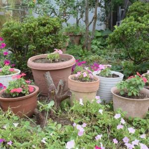 インパチェンを鉢に植える