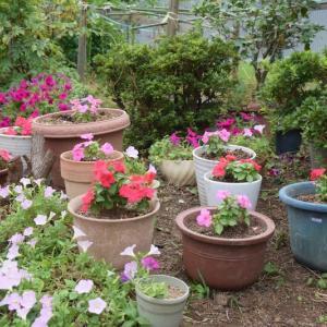 鉢植えたインパチェンスの花の色が濃くなった