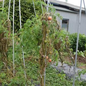 トマトの垂直栽培は失敗だった