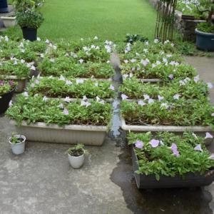 プランターのペチュニアを刈り込んで凡そ10日の花壇の様子
