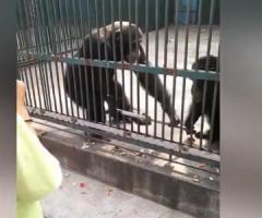 【動画】仲間が奪った自撮り棒を取り返してくれる心優しいチンパンジー