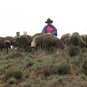 アンデスの羊たち(アニマルザワールド11)
