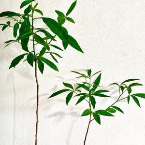 バオバブ栽培:あれから、さらに3週間!! バオビー成長記録