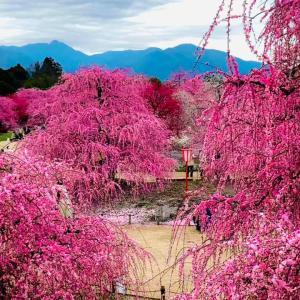2021満開のしだれ梅&山桜☆キャリコン更新講習