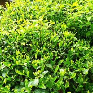 茶摘みと畑の様子   210513