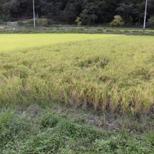 もち米刈り取り