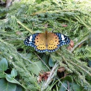 きれいな蝶の名は