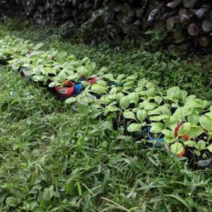 白菜を植え付け