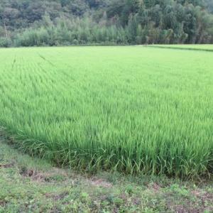 稲の分けつ