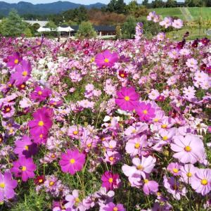 秋の薔薇と秋桜の丘陵公園へ…①