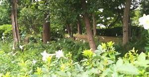 他所のマンションの庭に白百合が沢山咲いていた( `ー´)ノ