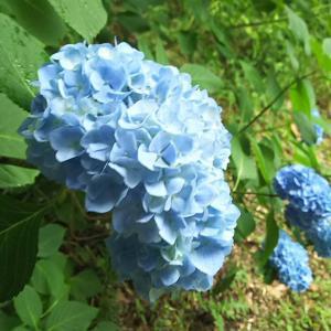 最高のアジサイとして咲くことができるようにサポートするのが親の仕事