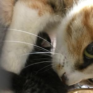 手術前夜、捕獲器出産した野良猫