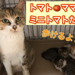 エクレアの抜歯手術と寺猫たちの検査とトマト一家