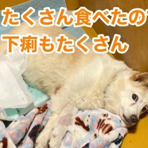 シニア犬の介護〜悪性リンパ腫のバニラ〜