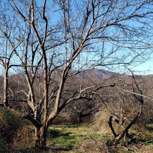 今年初めての薪狩り(キャンプ用薪(梅の木))