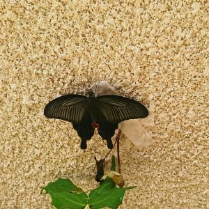 3匹目の蝶が羽化しました