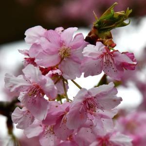 花シリーズ・桜花