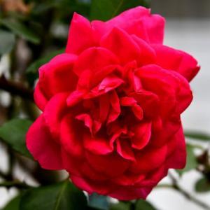花シリーズ・春の別れ 撮り収めたバラたち