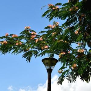 花シリーズ・合歓の木