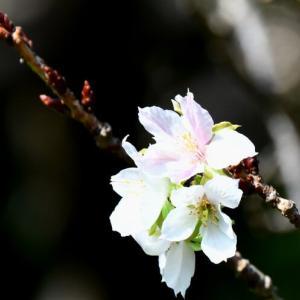 華花逍遥(24)・寝惚けた桜