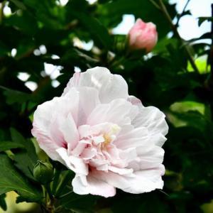 華花逍遥(94)・夏の花達ヨ 秋色に染まる身支度は出来たか?