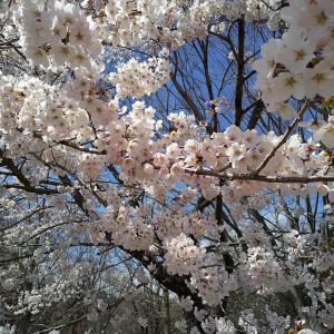 桜がキレイでした♪
