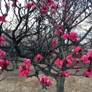 梅の花見自然から元気をもらおう