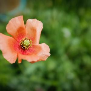庭に勝手に咲いた花。