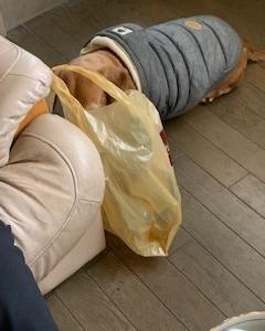 ダックス きーちゃん 買い物袋をあさってます
