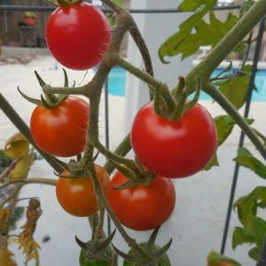 ミニトマトの鉢植え