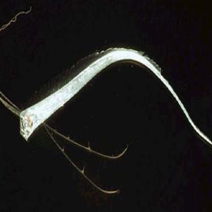キモイ深海魚