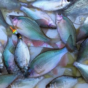 またまた久しぶりのタナゴ釣り