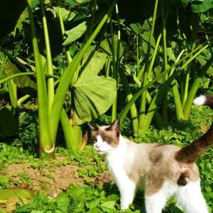 桜エビ芋と猫