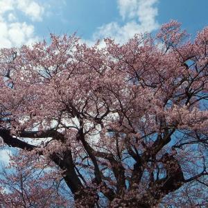 里山の桜巡り