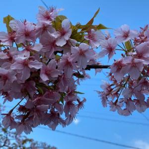 河津桜をみてきました(#^.^#)