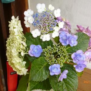 紫陽花てんこもり