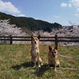 今年の桜は三密避けて!