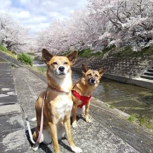 今年の桜は特別でした。